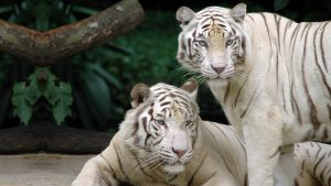 White Tiger Backgrounds HD