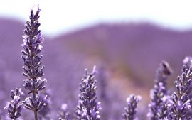 Download Free Lavender Flower Backgrounds
