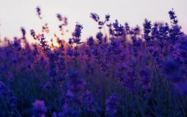 Lavender Flower Wallpapers HD