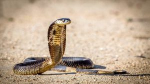 Download Free Viper Snake Backgrounds