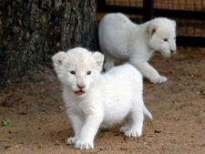 White Lion Backgrounds HD