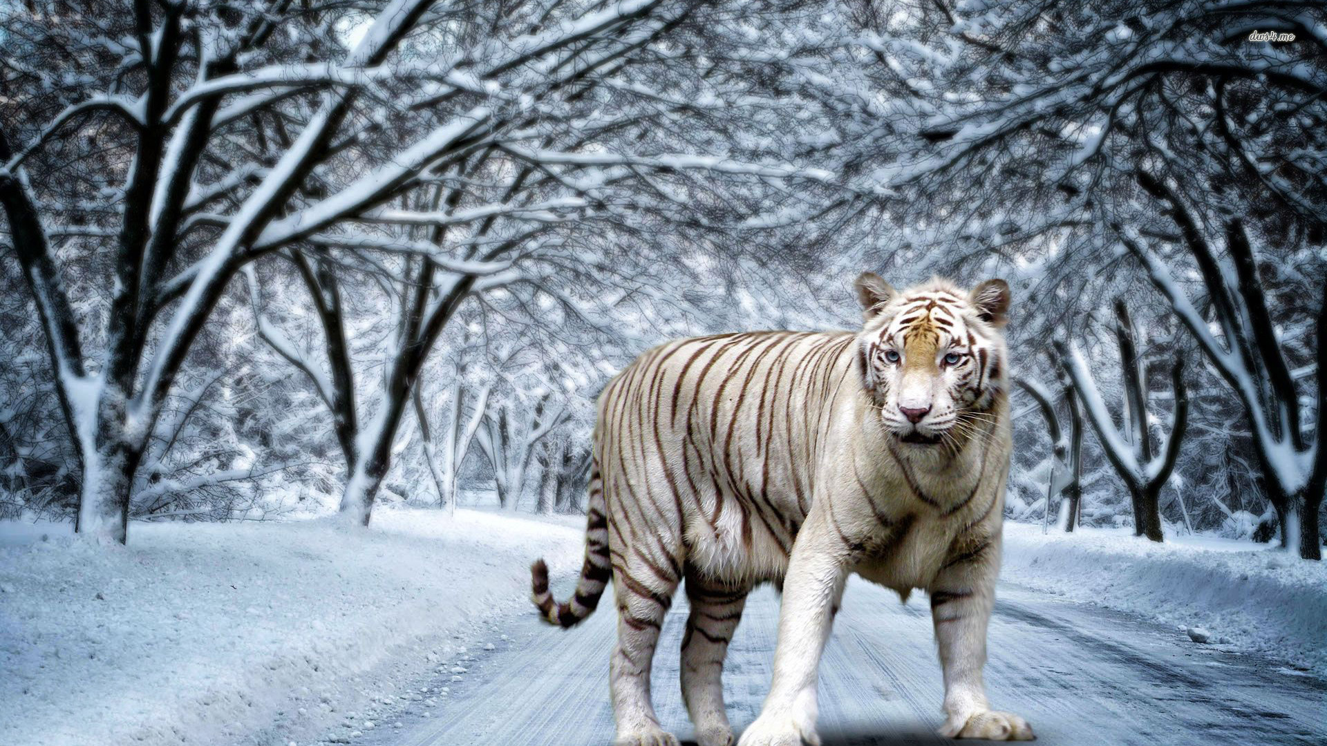 Wallpaper Wiki White Tiger Hd Pictures Pic Wpe00131 By Billion Photos