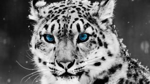 White Tiger Wallpapers Free Download