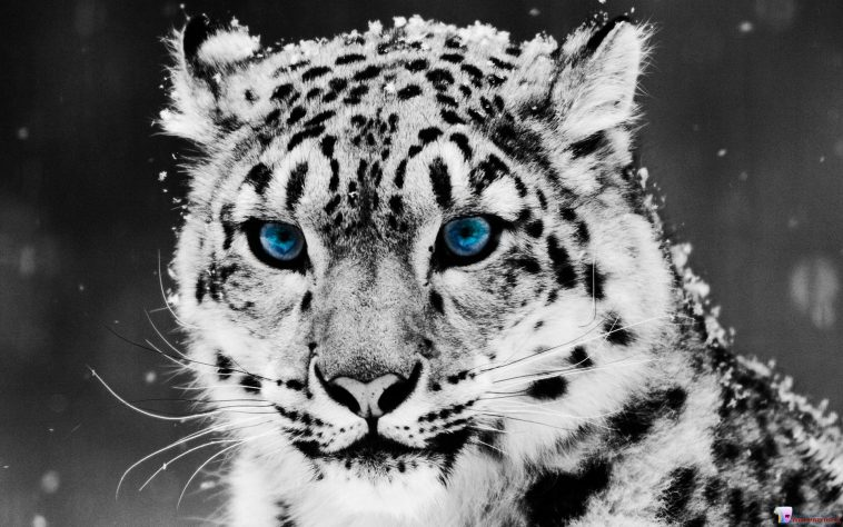 Cool Collections Of White Tiger Wallpapers Free Download For Desktop Laptop And Mobiles Here You Can More Than 5 Million Photography