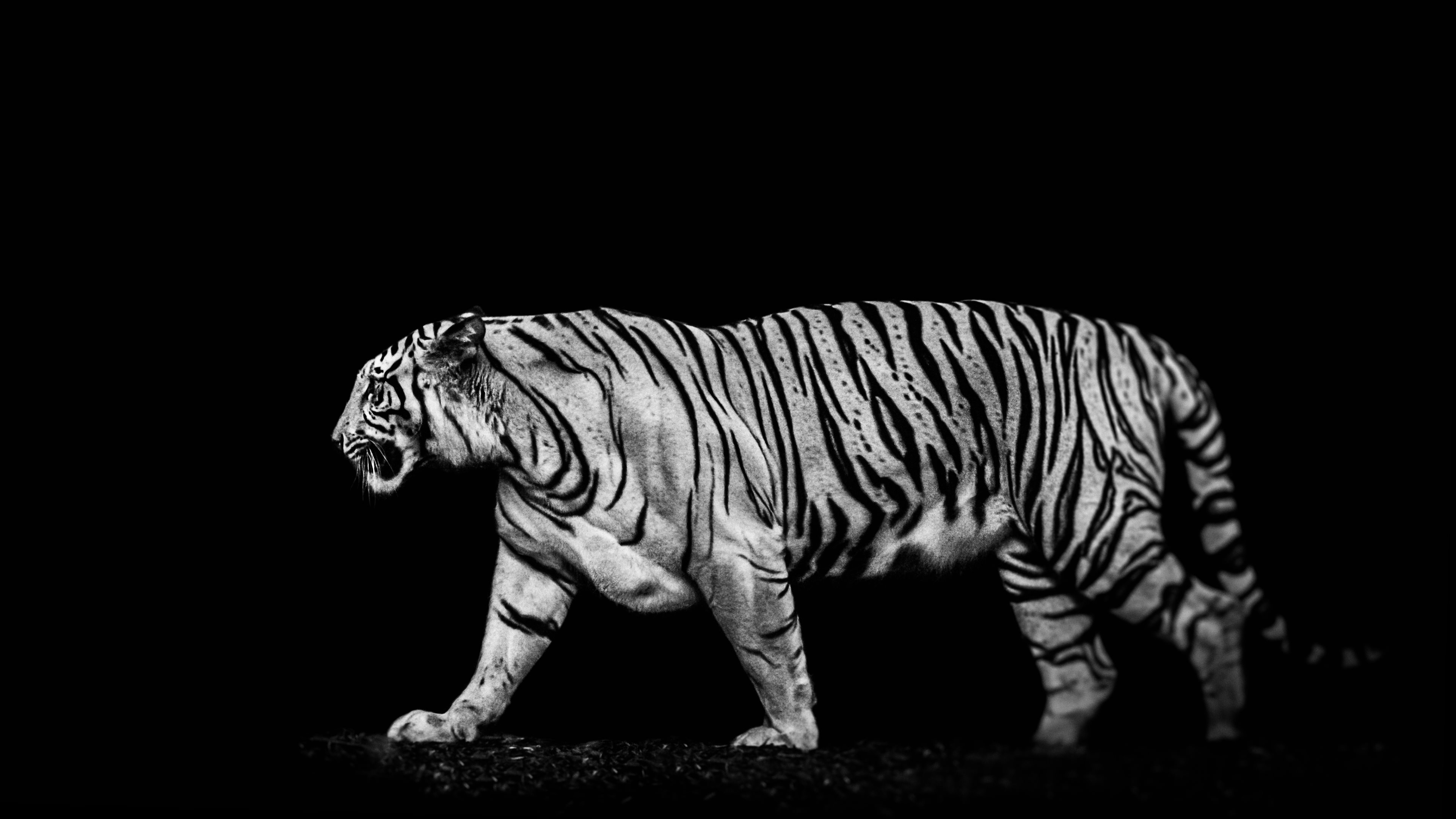 free download white tiger backgrounds | wallpaper.wiki