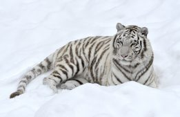 Free Download White Tiger Backgrounds