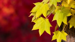 Leaves Yellow Autumn Wallpapers