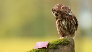 Owl Wallpapers HD Desktop