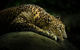 Leopard HD Wallpaper High Resolution