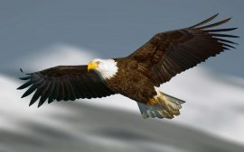 Eagle HD Wallpapers
