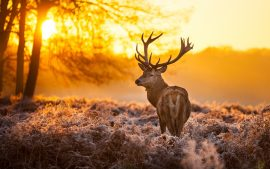 Free Deer Backgrounds