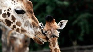 Free Giraffe Wallpapers Download