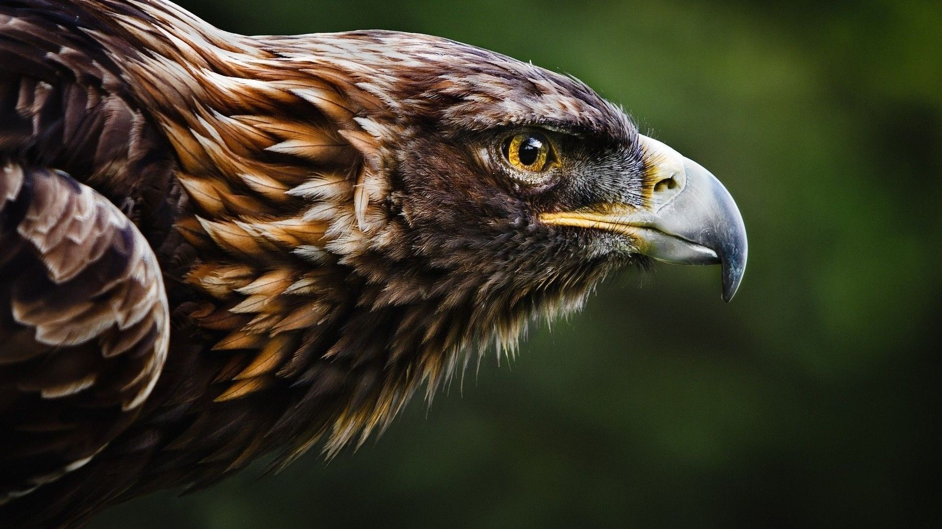 Golden-Eagle-Wallpapers-Backgrounds