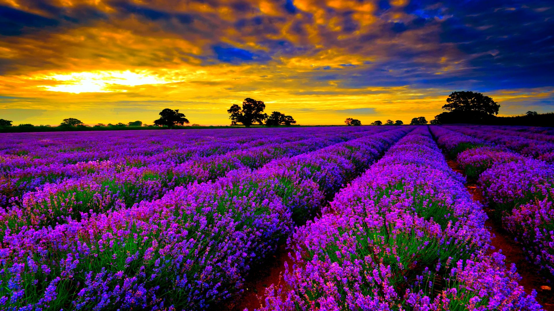 Most Beautiful Field Of Lavender Flowers Widescreen Wallpaper