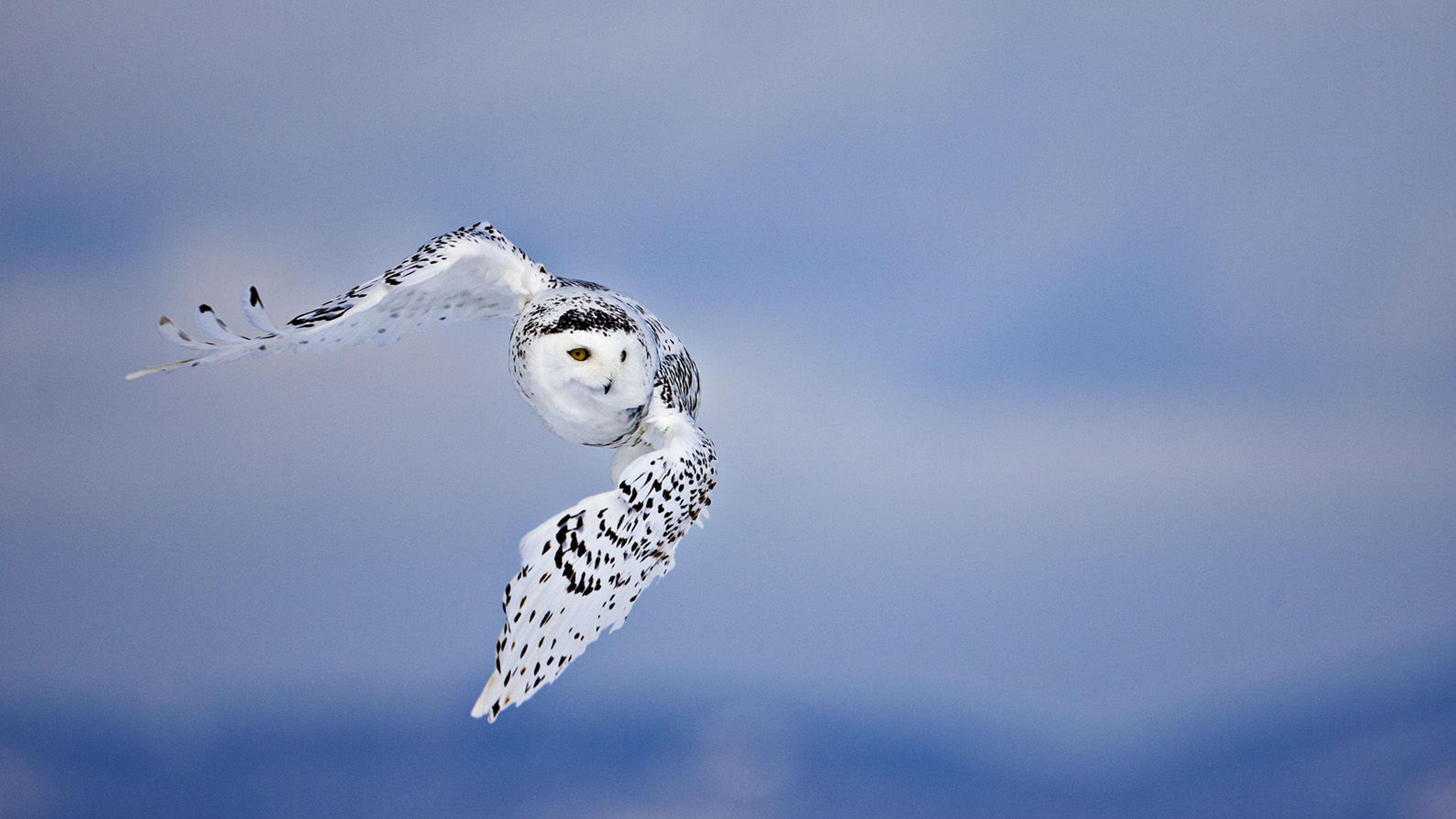 owl-wallpapers-hd-free-download-desktop | wallpaper.wiki