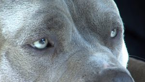Free Pitbull Wallpapers Download
