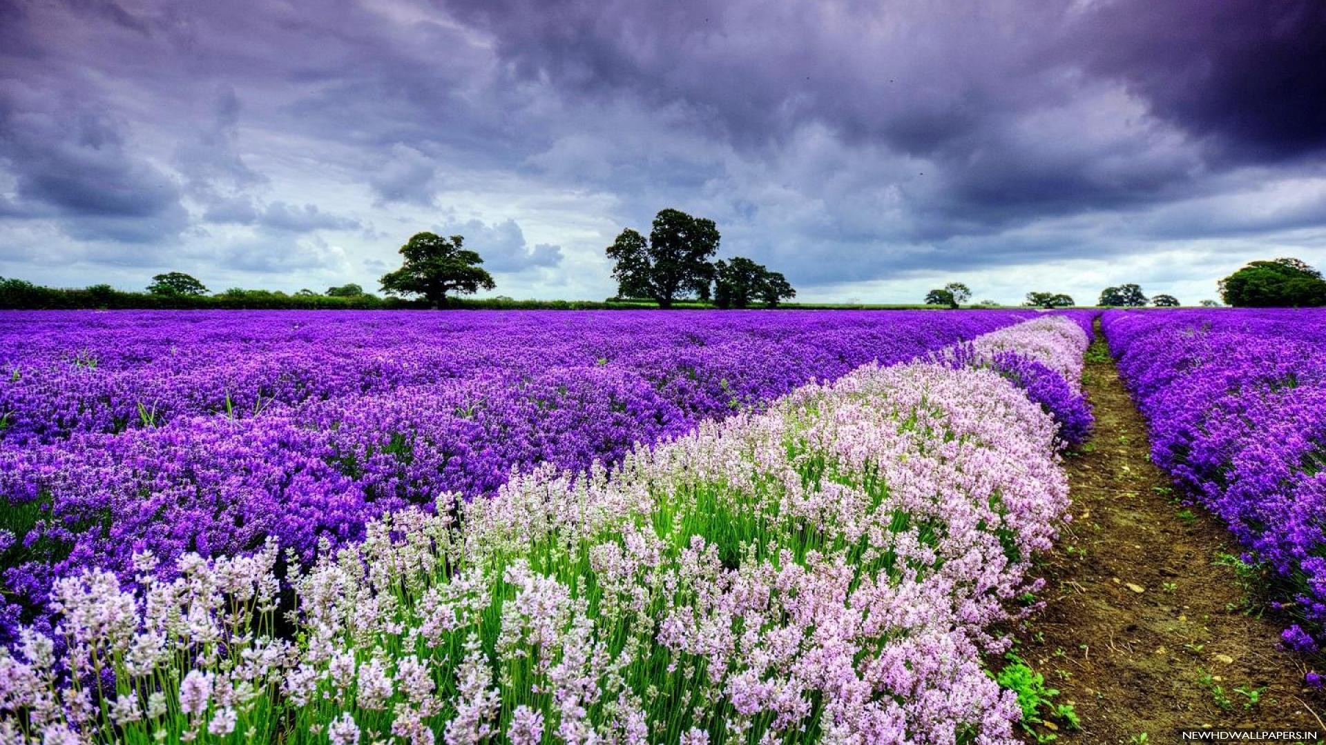 white-purple-flower-field-hd-wallpaper | wallpaper.wiki